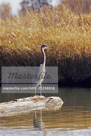 Blue Heron, British Columbia, Canada