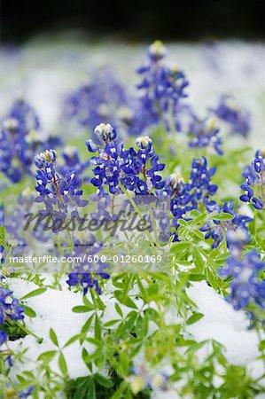 Frozen Bluebonnets dans la neige, Texas Hill Country, Texas, Etats-Unis