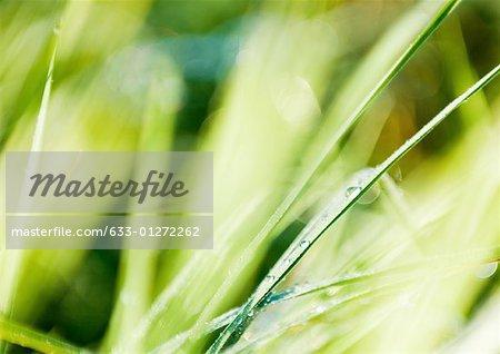 Rosée sur les brins d'herbe, très gros plan
