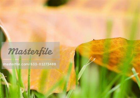 Feuille morte couchée sur l'herbe, très gros plan