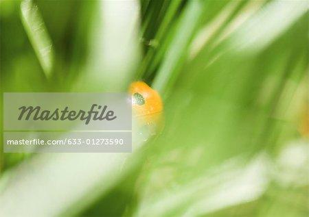Coccinelle dans la plante, très gros plan