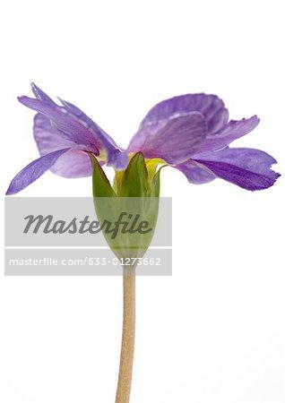 Primrose flower, close-up