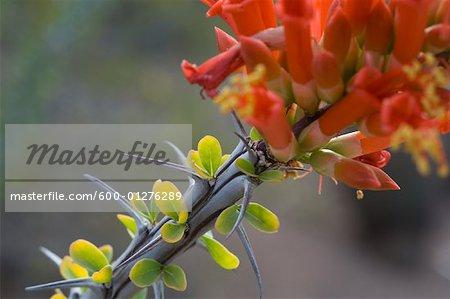 Floraison Ocotillo Cactus