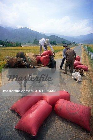 Agriculteurs chargement panier avec des sacs de riz, Vietnam
