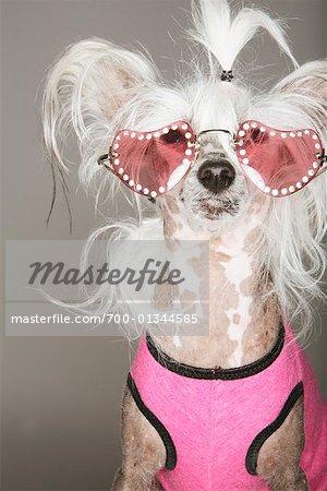 Porträt des Hundes mit Sonnenbrille