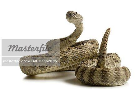 Gros plan d'un serpent à sonnettes
