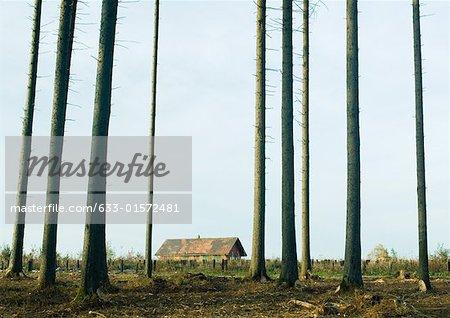 Switzerland, forest of pines undergoing reforestation, house in background