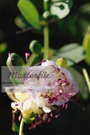 Caper blossom