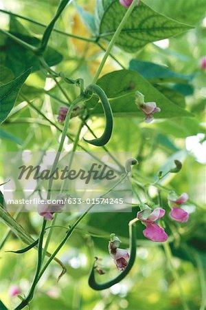 Flowering green bean plant
