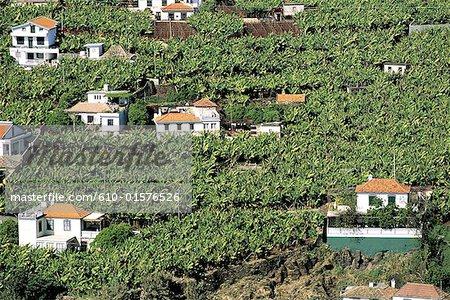 Portugal, Madeira, près de Camara de Lobos, vignes