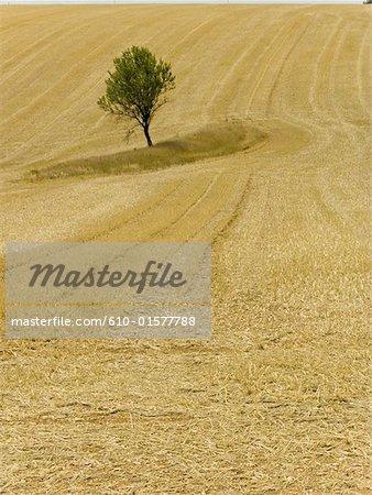 Champ de blé de Provence, Plateau de Valensole, France