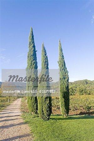 France, Provence, Ménerbes, jardin de l'hôtel « La Bastide de Marie », cyprès