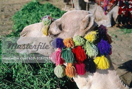 Egypt, Cairo, camel