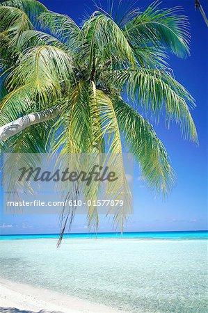 Polynésie française, archipel des Tuamotu, Rangiroa, beach et palm tree