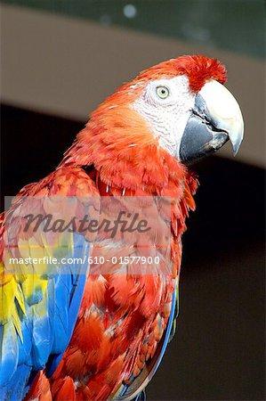 Guatemala, Chichicastenango, parrot