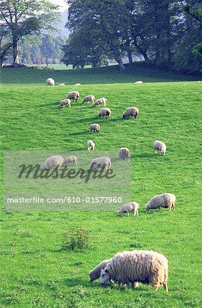 Irlande, Connemara, troupeau de moutons