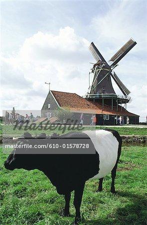 Les pays-bas, la Hollande-septentrionale, Zaanstad, vache et moulin à vent