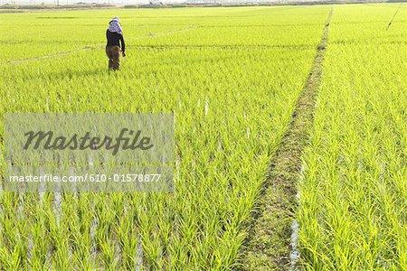 Xishuangbanna, Yunnan, la Chine, près de Damenglong, rizière