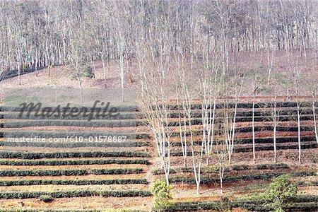 Chine, Yunnan, entre plantation Menghai et Lancang, thé et hevea