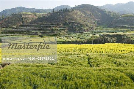 Chine, Yunnan, près de Lincang, champs cultivés