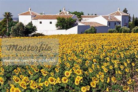 Champ de tournesols et ferme, Andalucia, Espagne