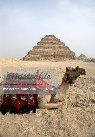 Chameau, pyramide de Djéser Sakkara, Egypte