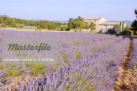Champ France, Provence, Reillanne, bastide et lavande