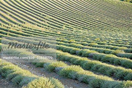 France, champ de lavande de Provence, Plateau de Valensole, après la récolte
