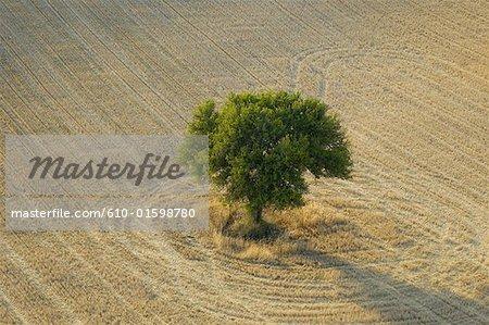 France, Provence, Plateau de Valensole, arbre dans un champ de blé, vue aérienne