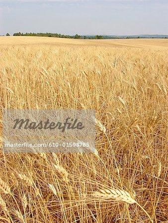 France, Provence, Valensole Plateau, wheat field