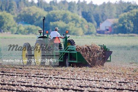 Fermier récolte oignons
