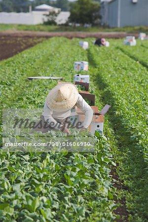 Agriculteur Picking épinards