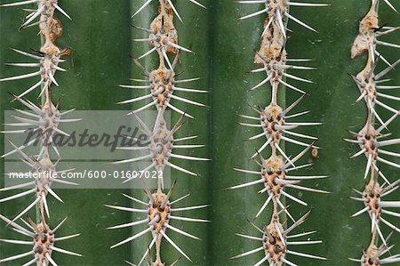 Aiguilles de Cactus Cardon