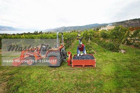 Fermier récolte des raisins, Naramata, vallée de l'Okanagan, en Colombie-Britannique, Canada