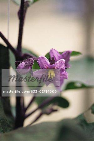 Aubergine plante en fleurs, gros plan