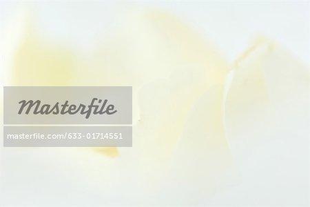 White rose petals, extreme close-up