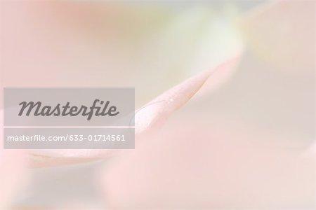 Drop on pink petal, extreme close-up