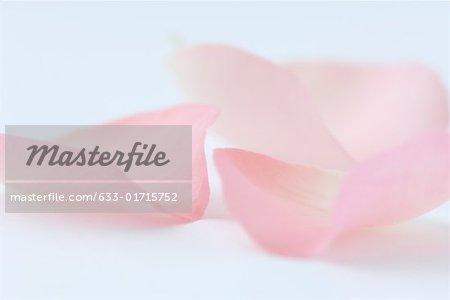 Pink rose petals, close-up
