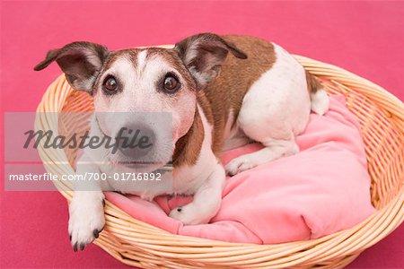 Jack Russell Terrier dans le lit de chien
