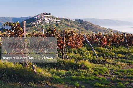Vignoble à Motovun, Istria, Croatie