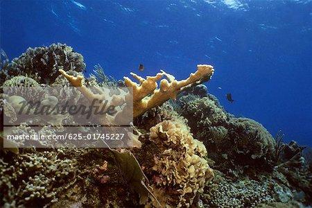 Close-up of Elkhorn Coral (Acropora Palmata) underwater, Roatan, Bay Islands, Honduras