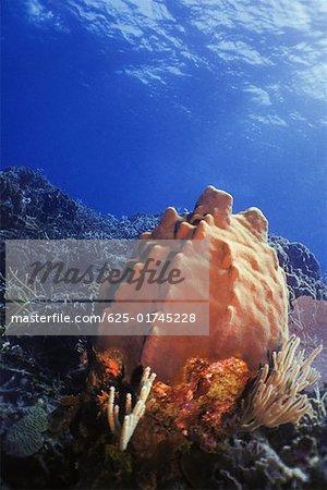 Close-up of Leathery Barrel Sponge (Geodia Neptuni) underwater, Roatan, Bay Islands, Honduras
