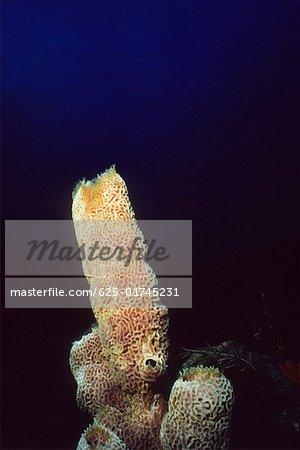Close-up of a Branching Vase Sponge (Callyspongia Vaginalis) underwater, Saba, West Indies