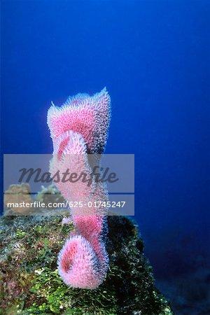 Close-up of Azure Vase Sponge (Callyspongia plicifera) underwater, Cayman Islands, West Indies