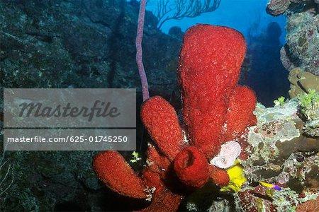 Close-up of Strawberry Vase Sponge underwater, Cayman Islands West Indies