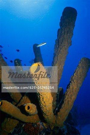 Gros plan de branchement Tube éponge (Pseudoceratina crassa) sous l'eau, Turks et Caïques, West Indies