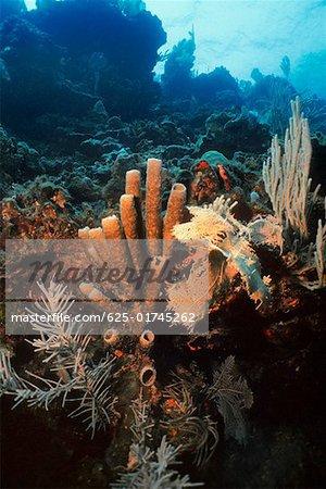 Gros plan de Brown Tube éponge (Agelas Conifera) sous l'eau, Roatan, Bay Islands, Honduras