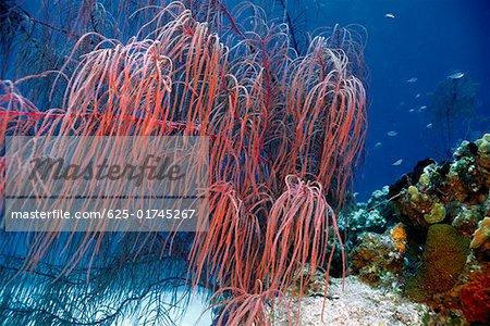 Gros plan des Plumes de mer sous-marine San Salvador (Bahamas)
