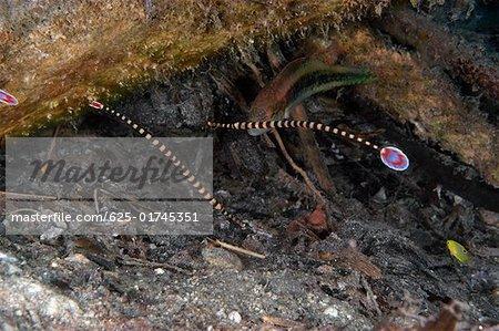 Ringed Pipefishes (Doryrhamphus dactyliophorus) swimming underwater, Papua New Guinea