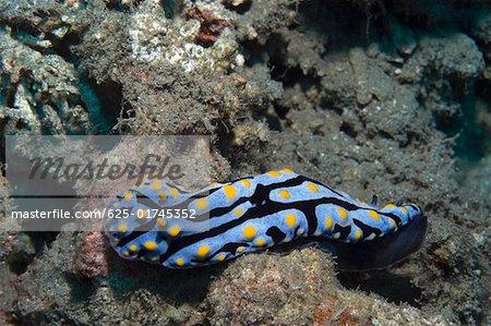Nudibranch swimming underwater, Papua New Guinea